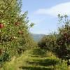 jabolka-prespa